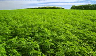Plantatii de marihuana care sa aduca bani la buget