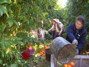 Huelva: Scade numarul romanilor la cules de capsuni si portocale