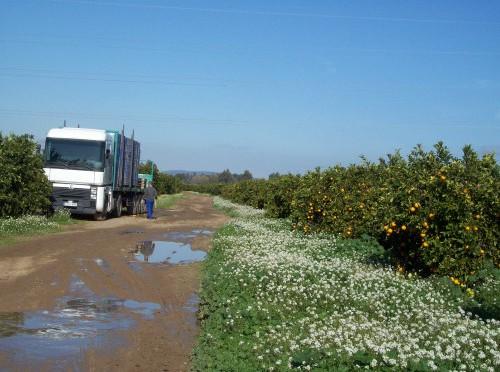 plantatie-maslini agricultura Sevilla romani