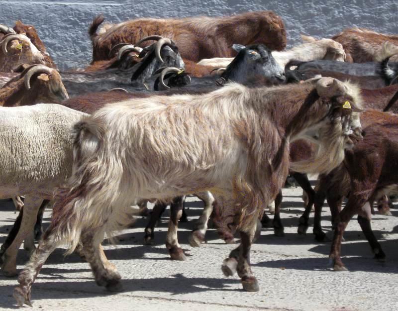 Turmă de capre furată de un român la Castellón
